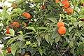 Sapindales - Citrus sinensis - 6.jpg