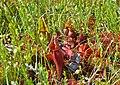 Sarracenia purpurea (9451630406).jpg