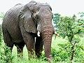 Savanna Elephant (Loxodonta africana) bull ... (51122698793).jpg