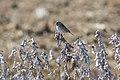 Savannah sparrow (39546107301).jpg