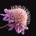 Scabiosa atropurpurea maritima (pincushion flowers).jpg