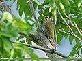 Scaly-bellied Woodpecker (Picus squamatus) (22921392115).jpg