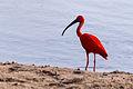 Scarlet Ibis - Corocoro Colorado (Eudocimus ruber) (12447024144).jpg