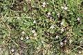 Schiermonnikoog - Duinreigersbek (Erodium cicutarium subsp. dunense).jpg