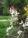 Schizanthus pinnatus 6