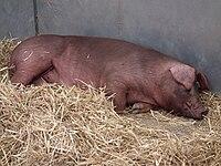 Schlafende Duroc-Sau.JPG