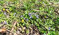Schlangen - 2015-04-12 - LIP-008 Emkental (07) - Viola canina, Ficaria verna.jpg