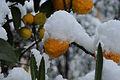 Schnee Orange, Citrus × aurantium 2.JPG