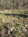 Scilla drunensis sl45.jpg