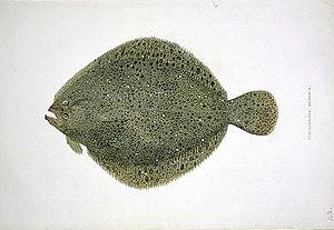 Brill (fish) - Image: Scophthalmus rhombus