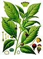 Scopolia carniolica - Köhler–s Medizinal-Pflanzen-263.jpg
