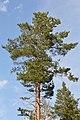Scots Pine (Pinus sylvestris) - Oslo, Norway.jpg