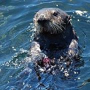 Sea otter with sea urchin.jpg