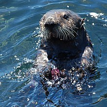 A sea otter swimming on its back, holding a sea urchin and smashing a rock against it