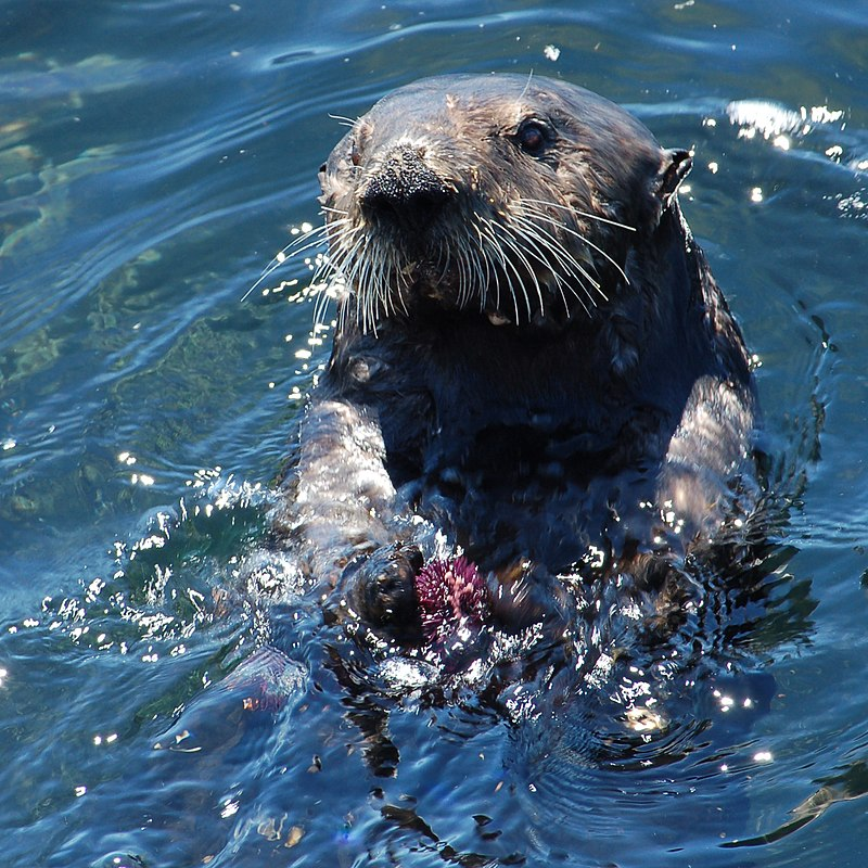 Sea otter with sea urchin.jpg