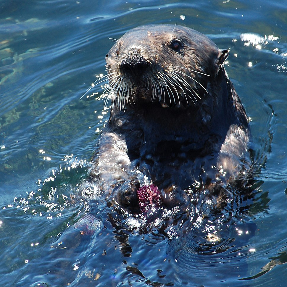 Sea otter with sea urchin