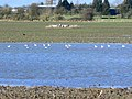 Seagulls on a temporary pond, near Draycot Foliat, Swindon - geograph.org.uk - 335830.jpg