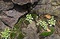 Sedum cepaea plant (09).jpg