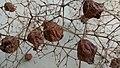 Seed of teek - 1.jpg