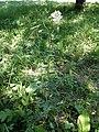 Selinum carvifolia sl2.jpg
