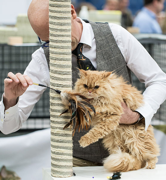 File:Selkirk rex longhair FINTICAt cat show Helsinki 2013-11-26.JPG
