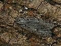 Semioscopis avellanella - Весенняя моль пухокрылая (27748837318).jpg