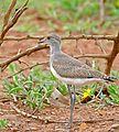 Senegal Lapwing (Vanellus lugubris) (32626338404).jpg