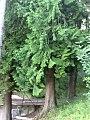 Sequoie1.jpg