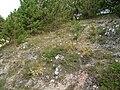 Seseli leucospermum.jpg