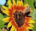 Share and Share Alike, Sunflower 10=15 (23107587321).jpg