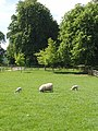 Sheep and lambs, Blenheim Great Park - geograph.org.uk - 442380.jpg