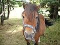 Shetland pony - front.JPG