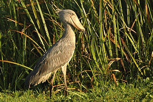 Uganda Shoebill Balaeniceps rex Murchison Fall...