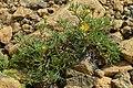 Shrubby Cinquefoil (Dasiphora fruticosa) - Gros Morne National Park, Newfoundland 2019-08-17 (04).jpg