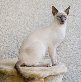 Siamese cat - Lilac-point Siamese (Oriental)
