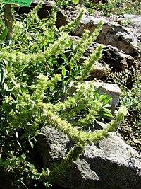 Sideritis hyssopifolia (BG Wroclaw)-1