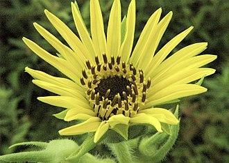 Silphium laciniatum - Flower head