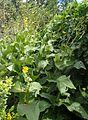 Silphium perfoliatum kz1.jpg