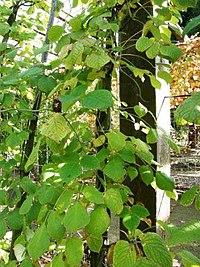 Sinofranchetia chinensis1.jpg