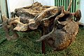SinokannemeyeriaYingchiaoensis(Full)-PaleozoologicalMuseumOfChina-May23-08.jpg