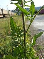Sisymbrium loeselii sl6.jpg