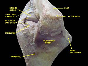 Medial epicondyle of the humerus