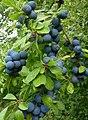 Sloe fruit - geograph.org.uk - 1451848.jpg