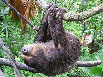 Hoffmann's two-toed sloth - Suspended from a branch