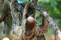 Sloth Climbing (20442003688).jpg