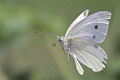 Small white female in flight.jpg