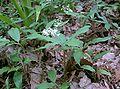Smilacina japonica1.jpg