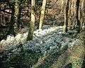 Snowdrops beside Afon Dwyfor - geograph.org.uk - 341178.jpg