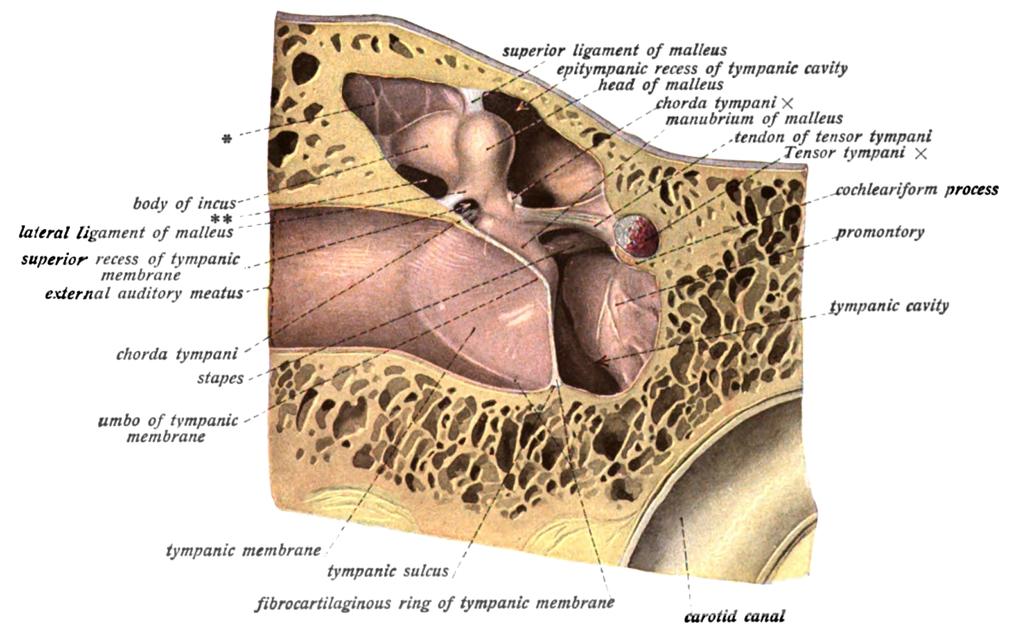 Tympanic Cavity Anatomy Choice Image Human Body Anatomy