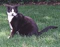 Socks the Cat Sitting on the South Lawn at the White House- 06-16-1998 (6461533883).jpg